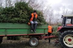 Alle Jahre wieder findet nach den Weihnachtsfeiertagen die Christbaumsammelaktion statt.